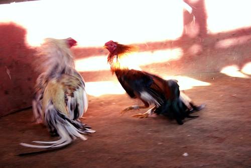 Denunciadas 83 personas por asistir a una pelea de gallos clandestina en El Palmar de Troya 1